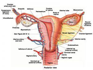 womensreproducti